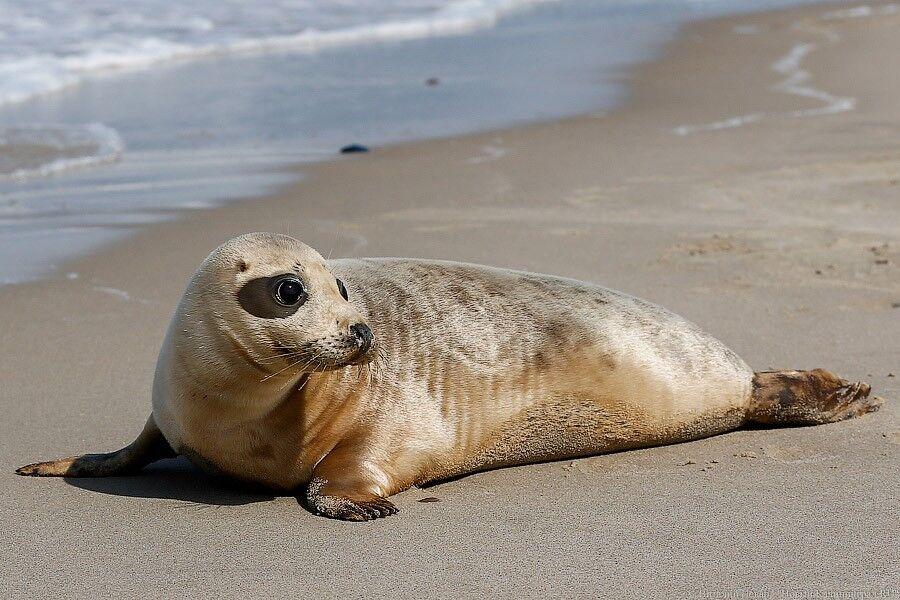 В Зеленоградске сотрудники МЧС спасли тюленя, застрявшего среди камней (видео)