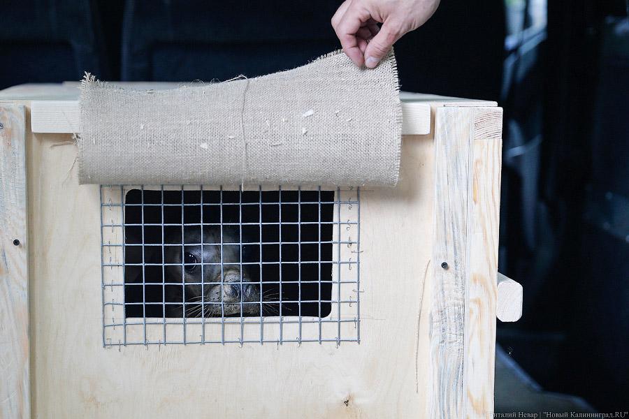 Родившиеся взоопарке Калининграда тюлени выпущены наволю