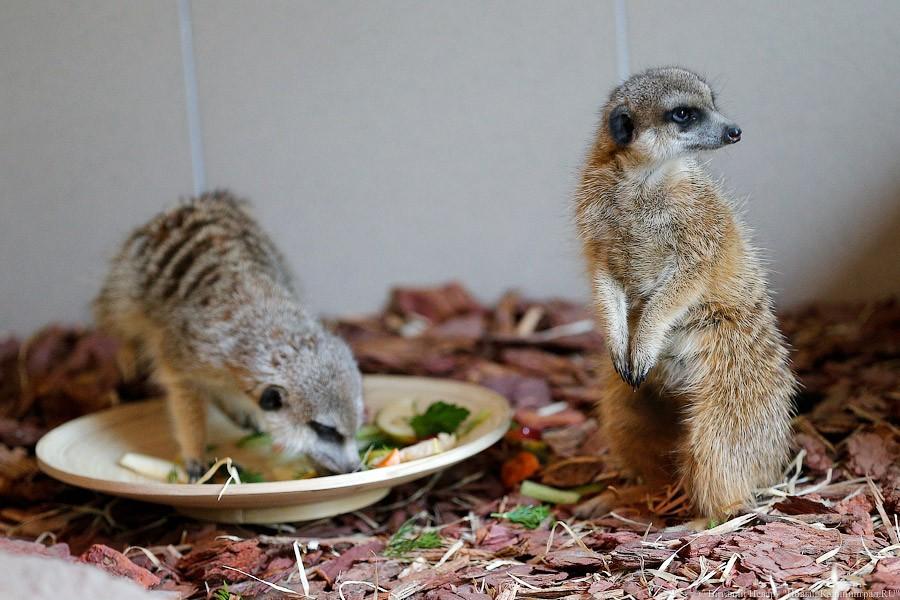 Посетители Калининградского зоопарка собрали 62 тысячи руб. для вольера сурикатов