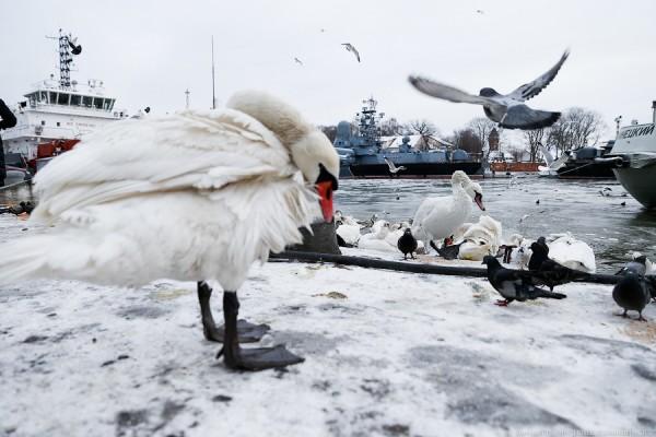 Что едят и чем кормить лебедей зимой на озере