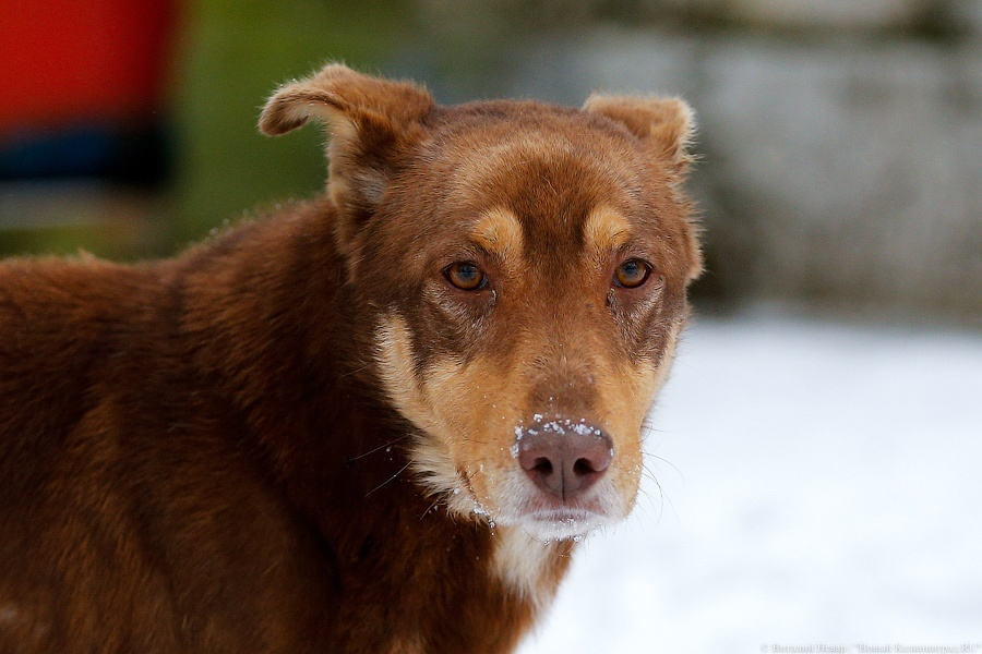 Калининградец привязал собаку кстолбу и безжалостно избил доской
