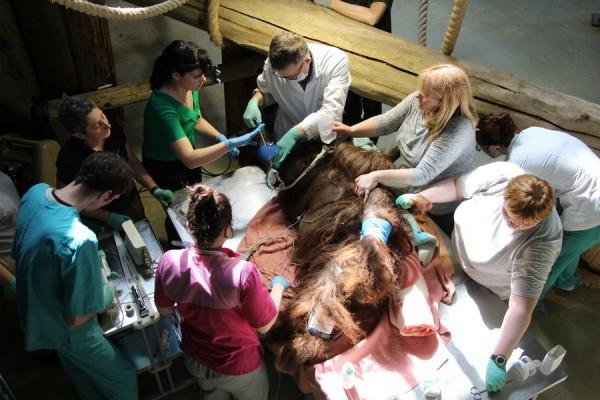 Доктора обследуют орангутана Бенджамина в Калининградском зоопарке (видео)