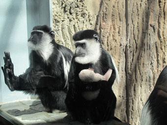 В Калининградском зоопарке у пары колобусов родился детеныш