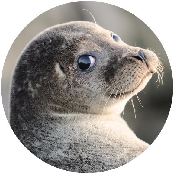 Откуда взялись мертвые тюлени на Куршской косе?