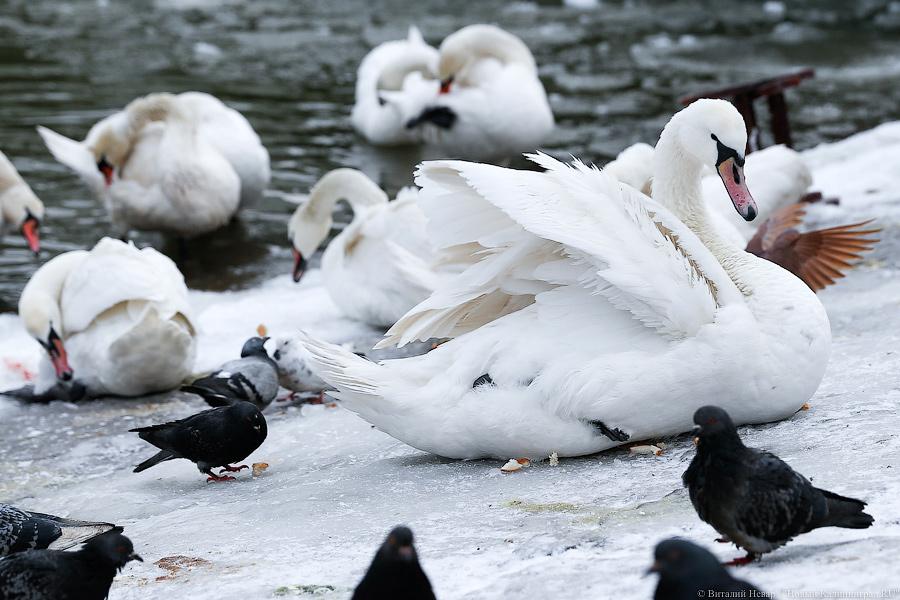 ВКалининграде упогибших наберегу Преголи лебедей обнаружили птичий грипп